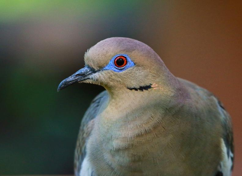 White-winged Dove, Michael Jewell