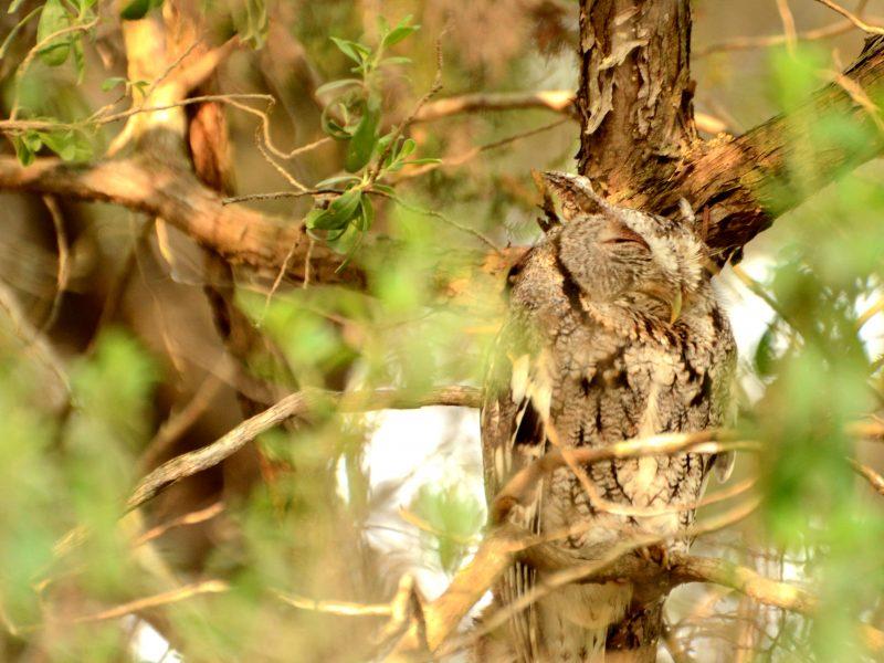 Eastern Screech Owl, Sachin Aggarwal